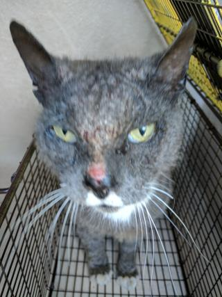 Mix-Bred DOMESTIC SHORTHAIR Adult  Cat #A428725#  Animal Care Services (San Antonio) - click here to view larger pic