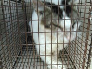 Mix-Bred DOMESTIC LONGHAIR Adult  Cat #A428736#  Animal Care Services (San Antonio) - click here to view larger pic