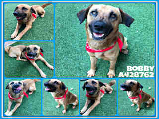 Mix-Bred SHEPHERD Male  Adult  Dog #A428762#  Animal Care Services (San Antonio) - click here to view larger pic