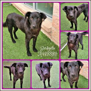 Mix-Bred FLAT-COATED RETRIEVER Female  Young  Puppy #A428882#  Animal Care Services (San Antonio) - click here to view larger pic