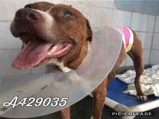 Mix-Bred PIT BULL TERRIER Female  Adult  Dog #A429035#  Animal Care Services (San Antonio) - click here to view larger pic