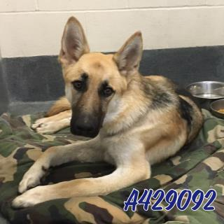 Mix-Bred GERMAN SHEPHERD DOG Male  Adult  Dog #A429092#  Animal Care Services (San Antonio) - click here to view larger pic