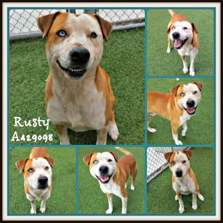 Mix-Bred AUSTRALIAN CATTLE DOG Male  Adult  Dog #A429098#  Animal Care Services (San Antonio) - click here to view larger pic