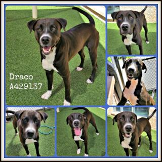 Mix-Bred AMERICAN STAFFORDSHIRE TERRIER Male  Young  Puppy #A429137#  Animal Care Services (San Antonio) - click here to view larger pic