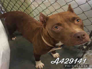 Mix-Bred AMERICAN STAFFORDSHIRE TERRIER Female  Adult  Dog #A429141#  Animal Care Services (San Antonio) - click here to view larger pic