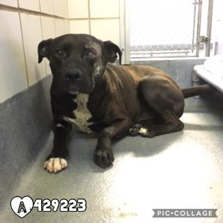Mix-Bred AMERICAN STAFFORDSHIRE TERRIER Male  Young  Puppy #A429223#  Animal Care Services (San Antonio) - click here to view larger pic