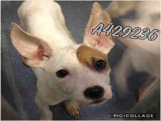 AUSTRALIAN CATTLE DOG Male  Young  Puppy #A429236#  Animal Care Services (San Antonio) - click here to view larger pic