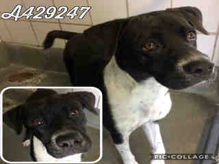 Mix-Bred BOXER Female  Young  Puppy #A429247#  Animal Care Services (San Antonio) - click here to view larger pic