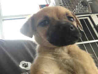 <u> Mix-Bred BLACK MOUTH CUR Female  Young  Puppy  (Secondary Breed: BLEND)</u>