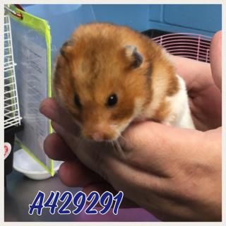 HAMSTER Female  Young  Exotic #A429291#  Animal Care Services (San Antonio) - click here to view larger pic