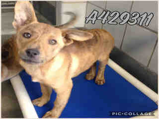 BELGIAN MALINOIS Female  Young  Puppy #A429311#  Animal Care Services (San Antonio) - click here to view larger pic