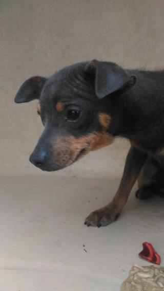 <u> Mix-Bred MINIATURE PINSCHER Female  Young  Puppy  (Secondary Breed: BLEND)</u>