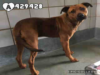 AMERICAN STAFFORDSHIRE TERRIER Female  Adult  Dog #A429428#  Animal Care Services (San Antonio) - click here to view larger pic