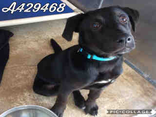 Mix-Bred LABRADOR RETRIEVER Male  Young  Puppy #A429468#  Animal Care Services (San Antonio) - click here to view larger pic
