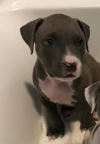 <u>AMERICAN STAFFORDSHIRE TERRIER Male  Young  Puppy </u>