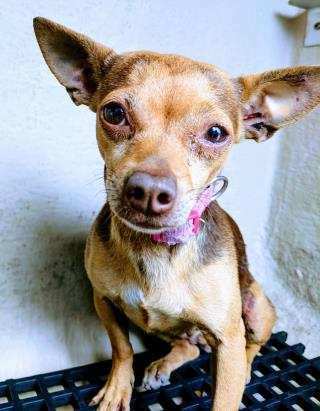 Mix-Bred CHIHUAHUA - SMOOTH COATED Female  Dog #A429570#  Animal Care Services (San Antonio) - click here to view larger pic