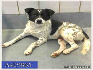Mix-Bred AUSTRALIAN SHEPHERD Male  Adult  Dog #A429665#  Animal Care Services (San Antonio) - click here to view larger pic