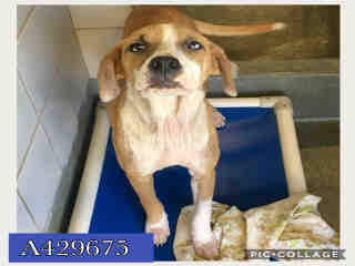 Mix-Bred AMERICAN FOXHOUND Female  Young  Puppy #A429675#  Animal Care Services (San Antonio) - click here to view larger pic