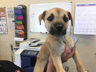 <u>BLACK MOUTH CUR Female  Young  Puppy </u>