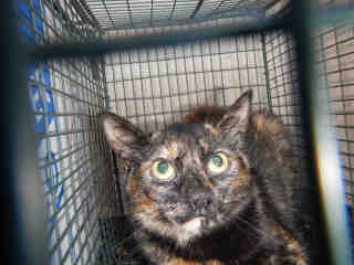 Mix-Bred DOMESTIC SHORTHAIR Female  Young  Kitten #A429700#  Animal Care Services (San Antonio) - click here to view larger pic