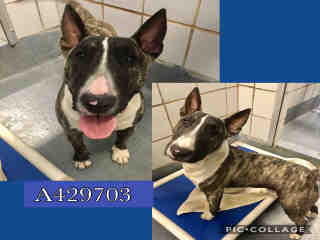 BULL TERRIER Male  Adult  Dog #A429703#  Animal Care Services (San Antonio) - click here to view larger pic