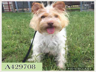 Mix-Bred TERRIER Male  Adult  Dog #A429708#  Animal Care Services (San Antonio) - click here to view larger pic