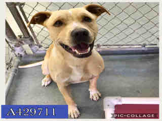 Mix-Bred STAFFORDSHIRE BULL TERRIER Male  Young  Puppy #A429711#  Animal Care Services (San Antonio) - click here to view larger pic