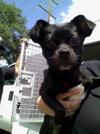 <u> Mix-Bred PUG Male  Young  Puppy  (Secondary Breed: CHIHUAHUA - SMOOTH COATED)</u>