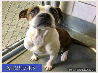 <u> Mix-Bred BOXER Female  Adult  Dog  (Secondary Breed: AMERICAN STAFFORDSHIRE TERRIER)</u>