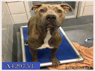 Mix-Bred AMERICAN STAFFORDSHIRE TERRIER Male  Adult  Dog #A429753#  Animal Care Services (San Antonio) - click here to view larger pic