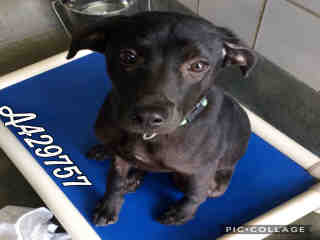 Mix-Bred LABRADOR RETRIEVER Female  Young  Puppy #A429757#  Animal Care Services (San Antonio) - click here to view larger pic