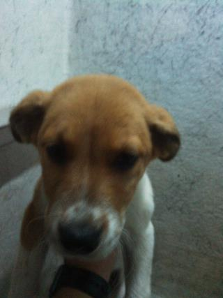 Mix-Bred LABRADOR RETRIEVER Male  Young  Puppy #A429763#  Animal Care Services (San Antonio) - click here to view larger pic