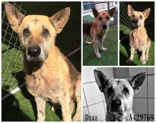 <u>GERMAN SHEPHERD DOG Male  Older  Dog </u>