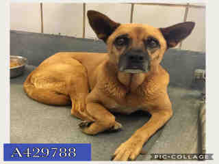 Mix-Bred SHEPHERD Female  Adult  Dog #A429788#  Animal Care Services (San Antonio) - click here to view larger pic