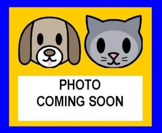 Mix-Bred DOMESTIC SHORTHAIR Cat #A429791#  Animal Care Services (San Antonio) - click here to view larger pic
