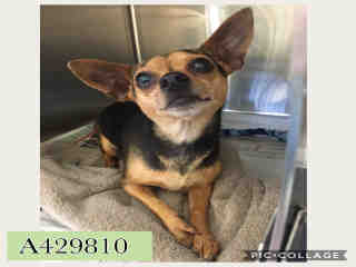 CHIHUAHUA - SMOOTH COATED Female  Adult  Dog #A429810#  Animal Care Services (San Antonio) - click here to view larger pic