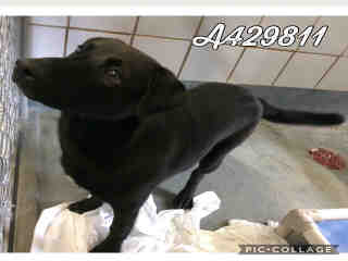 Mix-Bred LABRADOR RETRIEVER Male  Young  Puppy #A429811#  Animal Care Services (San Antonio) - click here to view larger pic