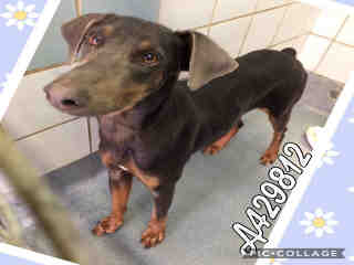 DOBERMAN PINSCHER Female  Young  Puppy #A429812#  Animal Care Services (San Antonio) - click here to view larger pic