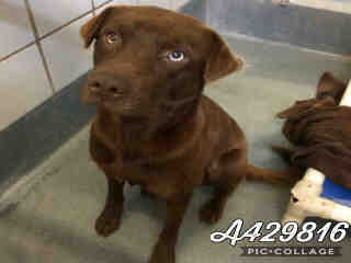 Mix-Bred LABRADOR RETRIEVER Male  Adult  Dog #A429816#  Animal Care Services (San Antonio) - click here to view larger pic