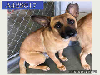 Mix-Bred GERMAN SHEPHERD DOG Male  Adult  Dog #A429817#  Animal Care Services (San Antonio) - click here to view larger pic
