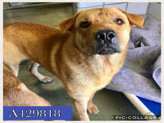 Mix-Bred LABRADOR RETRIEVER Male  Adult  Dog #A429818#  Animal Care Services (San Antonio) - click here to view larger pic