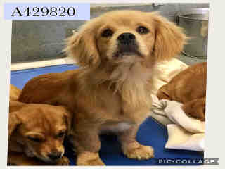 Mix-Bred COCKER SPANIEL Female  Adult  Dog #A429820#  Animal Care Services (San Antonio) - click here to view larger pic