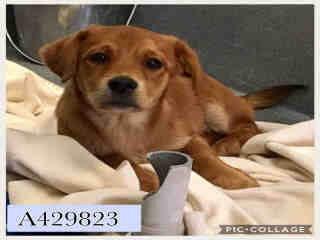 Mix-Bred LABRADOR RETRIEVER Male  Young  Puppy #A429823#  Animal Care Services (San Antonio) - click here to view larger pic