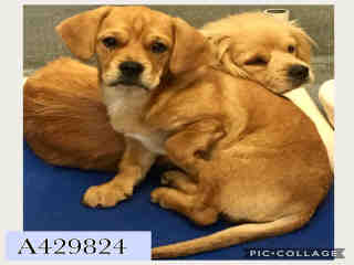Mix-Bred LABRADOR RETRIEVER Female  Young  Puppy #A429824#  Animal Care Services (San Antonio) - click here to view larger pic