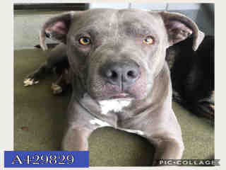 AMERICAN STAFFORDSHIRE TERRIER Male  Adult  Dog #A429829#  Animal Care Services (San Antonio) - click here to view larger pic