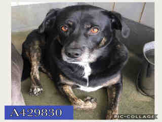 SHEPHERD Male  Adult  Dog #A429830#  Animal Care Services (San Antonio) - click here to view larger pic