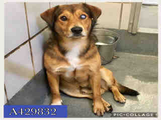 Mix-Bred SHEPHERD Male  Adult  Dog #A429832#  Animal Care Services (San Antonio) - click here to view larger pic