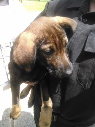 SHEPHERD Male  Young  Puppy #A429838#  Animal Care Services (San Antonio) - click here to view larger pic