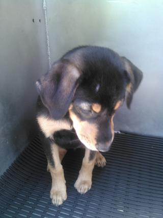 SHEPHERD Female  Young  Puppy #A429839#  Animal Care Services (San Antonio) - click here to view larger pic