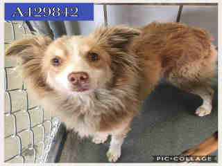Mix-Bred AUSTRALIAN SHEPHERD Male  Adult  Dog #A429842#  Animal Care Services (San Antonio) - click here to view larger pic